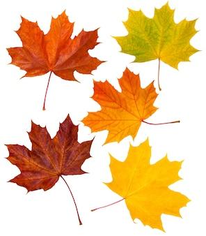 Ensemble de feuilles d'érable rouges et jaunes isolées