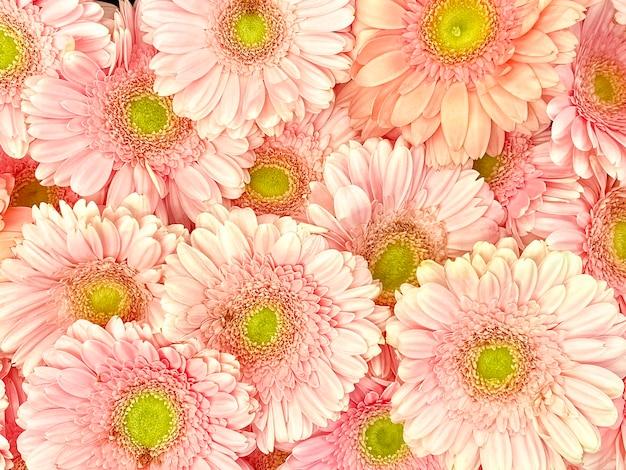 Ensemble de gerberas roses, vue de dessus. fond tendre, texture