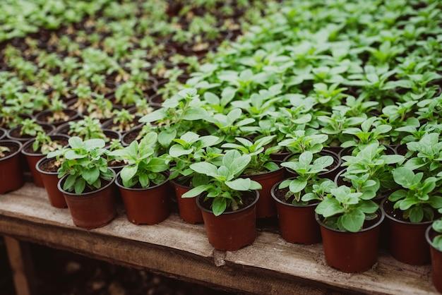 Ensemble de jeunes plants de fleurs dans des pots en plastique après la transplantation
