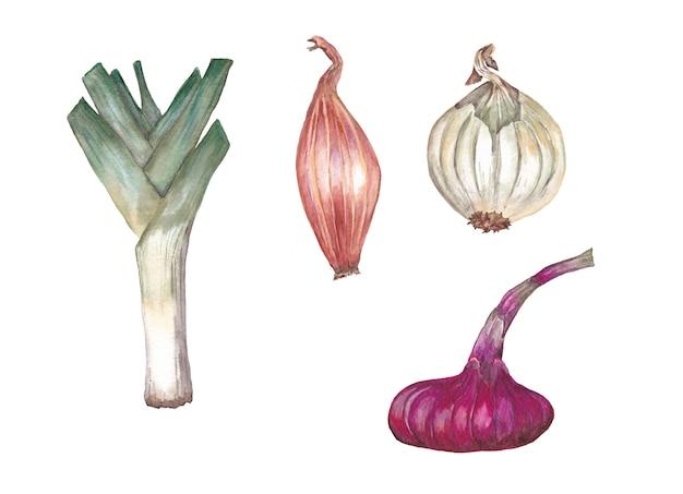 Ensemble d'oignons multicolores. illustration aquarelle