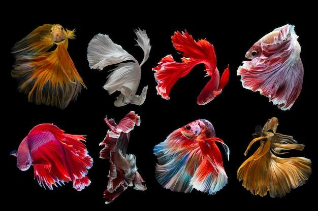 Ensemble de poissons betta sur fond noir. capturez le moment émouvant des poissons de combat siamois