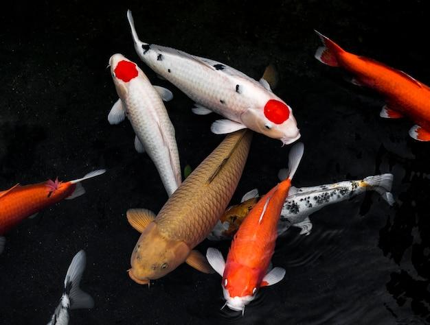 Ensemble de poissons koi vue de dessus