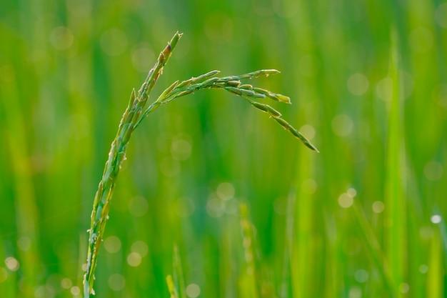 Un ensemencement de riz thai