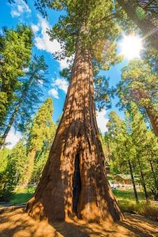 Entre les séquoias