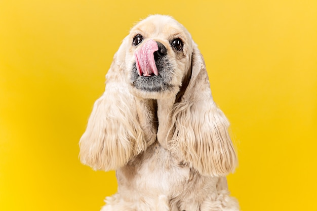 Envie de quelque chose de savoureux. chiot épagneul américain. chien mignon pelucheux toiletté ou animal de compagnie est assis isolé sur fond jaune. prise de vue en studio. espace négatif pour insérer votre texte ou image.