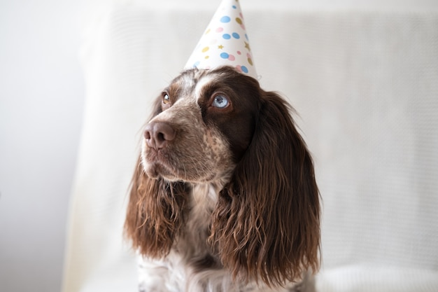 Épagneul russe chocolat merle différentes couleurs yeux chien drôle portant chapeau de fête. vacances. bon anniversaire. nouvel an. noël.