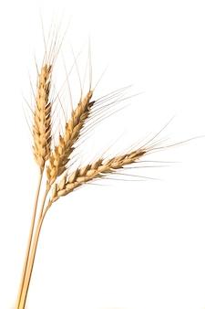 Épi de blé doré isolé après la récolte
