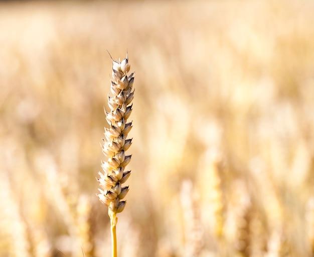 Épi de blé séché mature