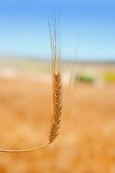 Épi de céréales dans le champ de blé doré