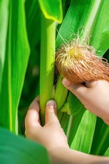 Épi de maïs dans les mains du petit enfant