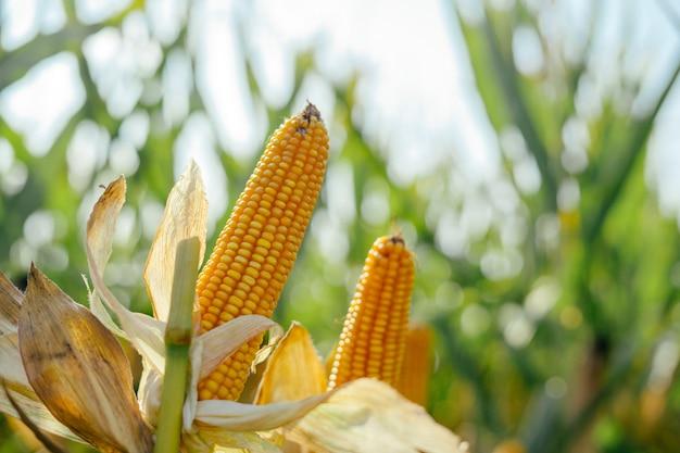 Épi de maïs jaune dans le domaine