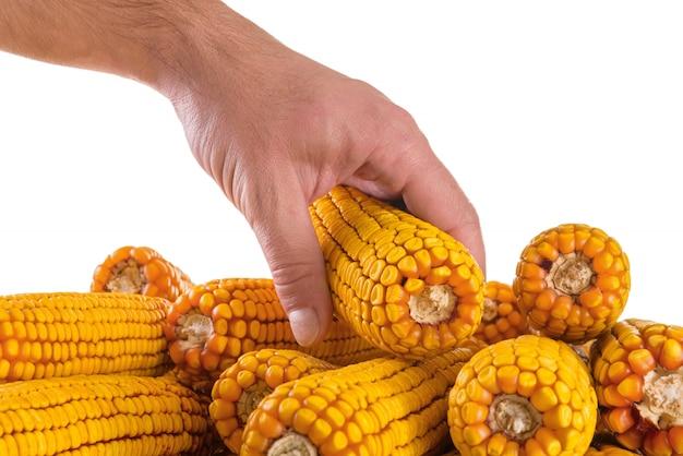 Épi de maïs à la main sur blanc