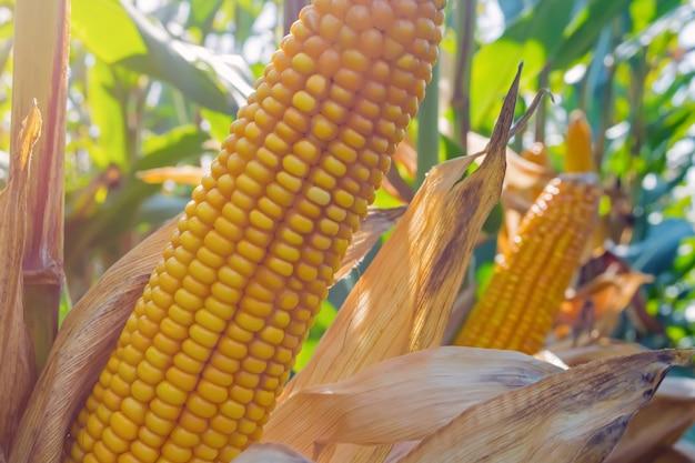 Un épi de maïs mûr dans le champ avant la récolte