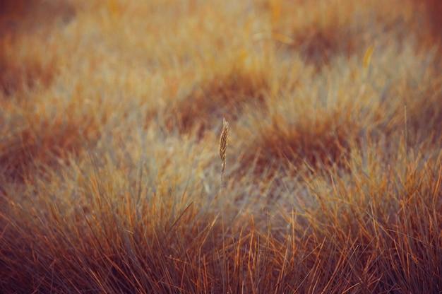 Épi solitaire sur une douce herbe jaune-vert à la lumière du coucher du soleil.