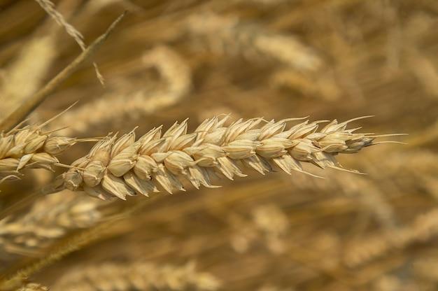 Épi unique d'orge mûr pour la récolte avec la macro optique. niveau de détail extrême !