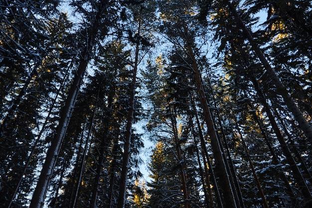 Épicéas pins couverts de neige.