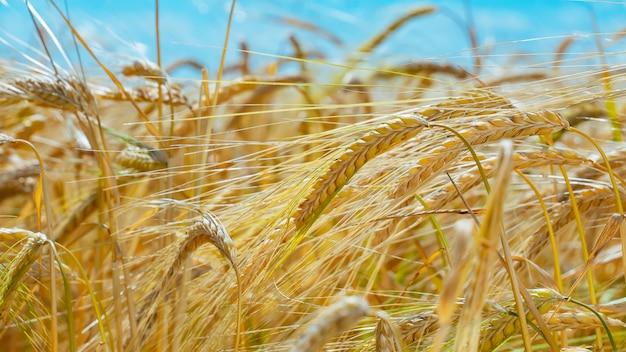 Épillets de blé contre le ciel sombre