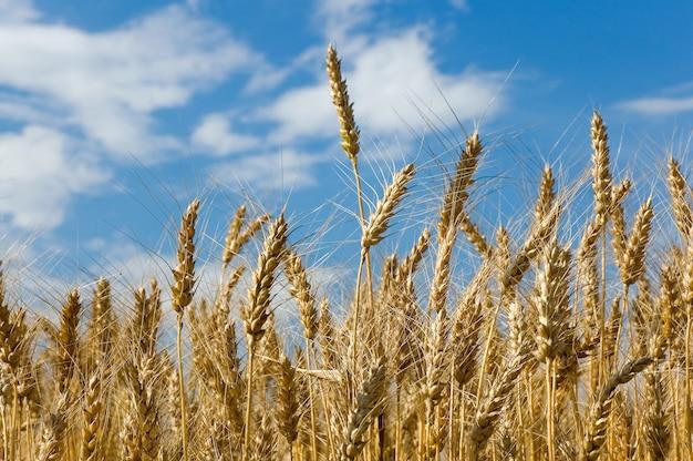 Épillets de blé dans le champ sur fond de ciel bleu avec des nuages