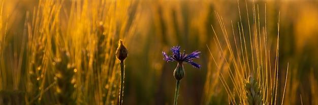 Épillets de blé dorés avec une fleur de bleuet solitaire dans les rayons chauds du soleil du matin.