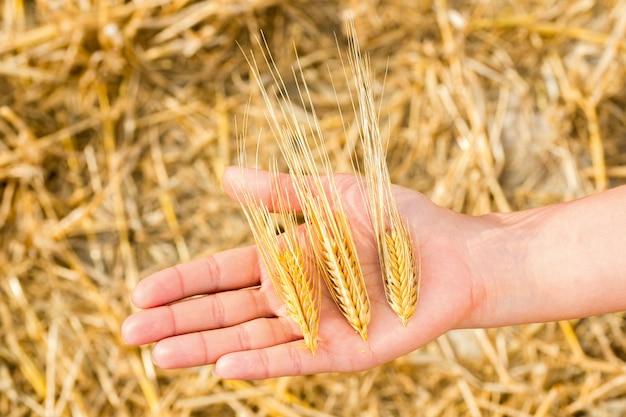 Épillets de blé à la main sur une récolte, gros plan