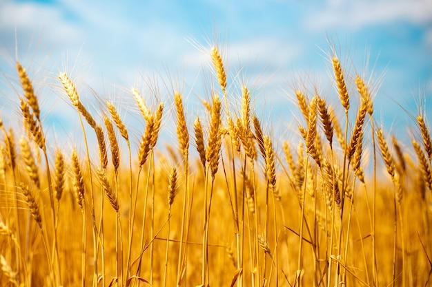 Épillets de blé mûri dans le domaine