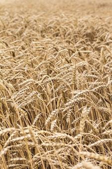 Épillets de blé sur le terrain. modèle d'épillets de blé.