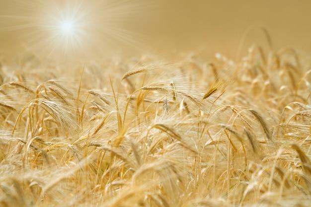 Épillets dorés de blé à la lumière du soleil.