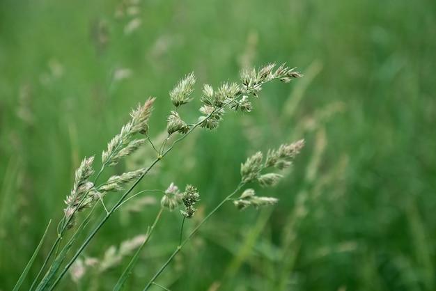 Les épillets d'herbe poussent sur fond de champ d'été vert flou