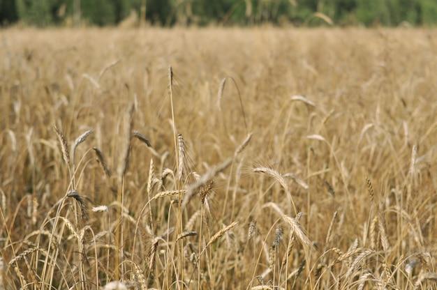 Des épillets mûrs de blé jaune se dressent dans le champ.