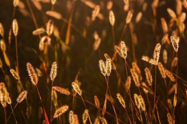 Épillets sauvages dans les rayons du soleil couchant