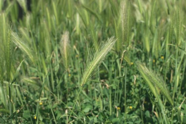 Épillets sauvages avec de longues barbes d'orge de lièvre. hordeum murinum