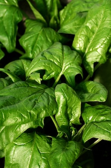 Les épinards biologiques poussent dans le jardin. la nourriture saine. végétarisme.