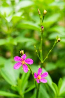 Épinards de ceylan ou feuilles d'eau (talinum fruticosum)