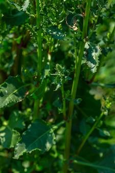 Épinards frais dans une ferme biologique