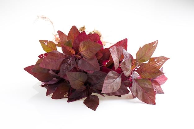 Épinards rouges ou amarante rouge un tas d'amarantes fraîches de la ferme disposées sur fond blanc