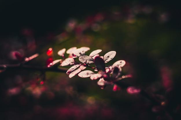 Épine-vinette après la pluie
