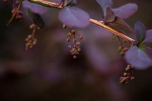 L'épine-vinette avec des fleurs en gros plan photo macro d'une branche d'épine-vinette avec des feuilles violettes et de jeunes groupes de b...