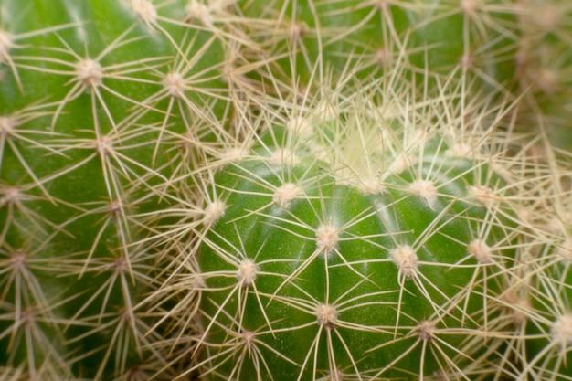 Épines de cactus. macro cactus épines. fermer