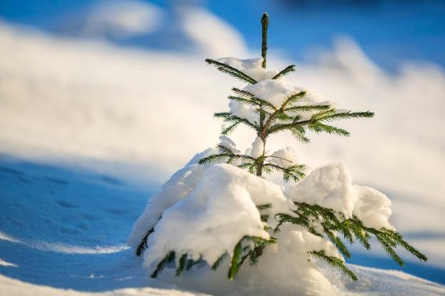 Épinette aux aiguilles vertes recouverte de neige épaisse.