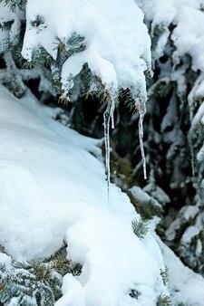 Épinette couverte de neige et de glaçons, vue rapprochée