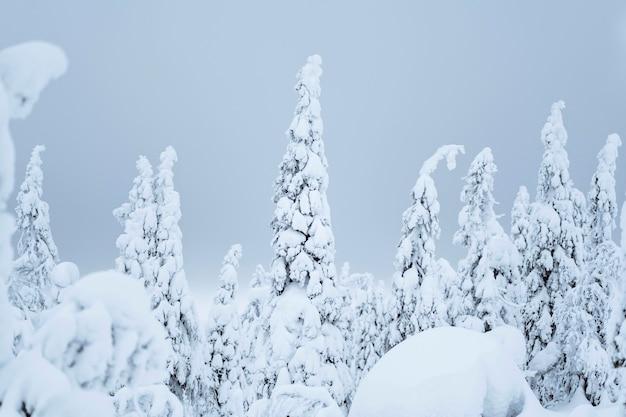 Épinettes couvertes de neige au parc national de riisitunturi, finlande