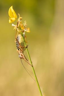 Épiphyte mâle ou grande sauterelle sur une tige de balai à l'état sauvage