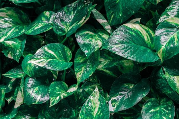Epipremnum aureum plante avec goutte d'eau