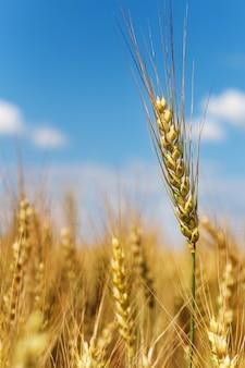 Épis de blé sur un champ