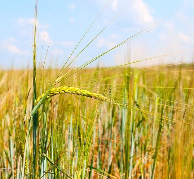 Épis de blé contre le ciel. récolte de blé.