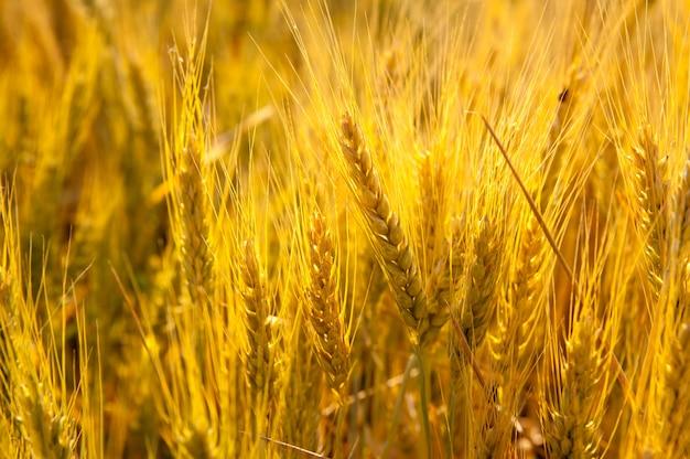 Épis de blé dans un champ doré avec des céréales
