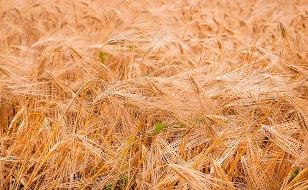 Épis de blé dans le domaine