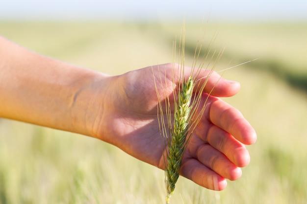 Épis de blé dans la main de la femme. champ au coucher ou au lever du soleil. concept de récolte.