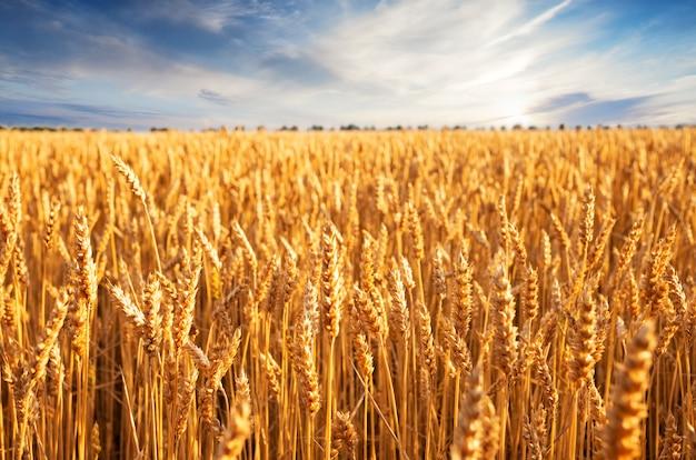 Épis de blé dorés dans un champ