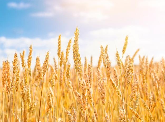 Épis de blé sur fond de ciel bleu
